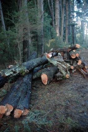 Pinus Muricata log piles