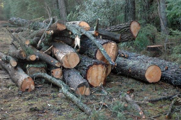 PinusMuricata_logs72