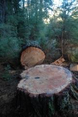 PinusMuricata_stump102cmDiameter72