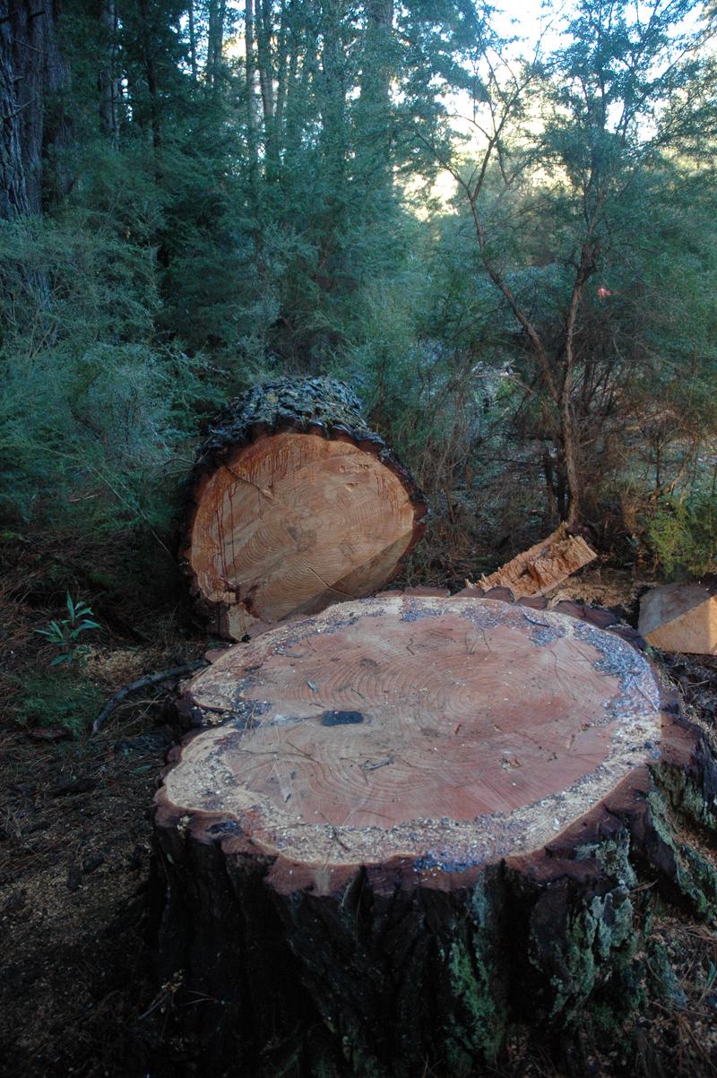 1 metre diameter felled tree